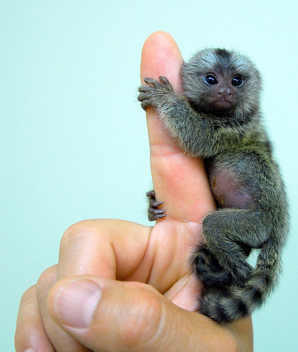 Foto: floridapfe på Flickr - Baby marmoset